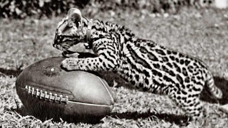 The leopard that lived on campus in 1943